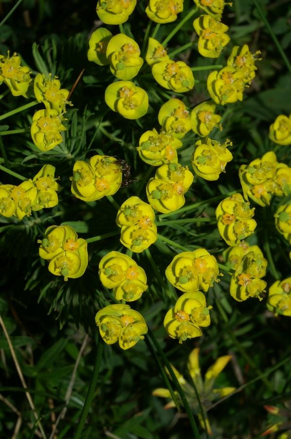Cipresasti mleček (Euphorbia cyparissias), Otlica, 2006-05-21 (Foto: Benjamin Zwittnig)