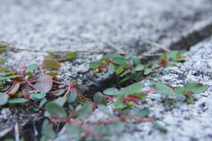 Polegli mleček (<i>Euphorbia humifusa</i>), Ljubljana, 2013-09-04 (Foto: Benjamin Zwittnig)