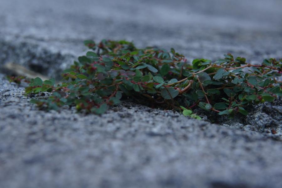 Polegli mleček (Euphorbia humifusa), Ljubljana, 2013-09-04 (Foto: Benjamin Zwittnig)