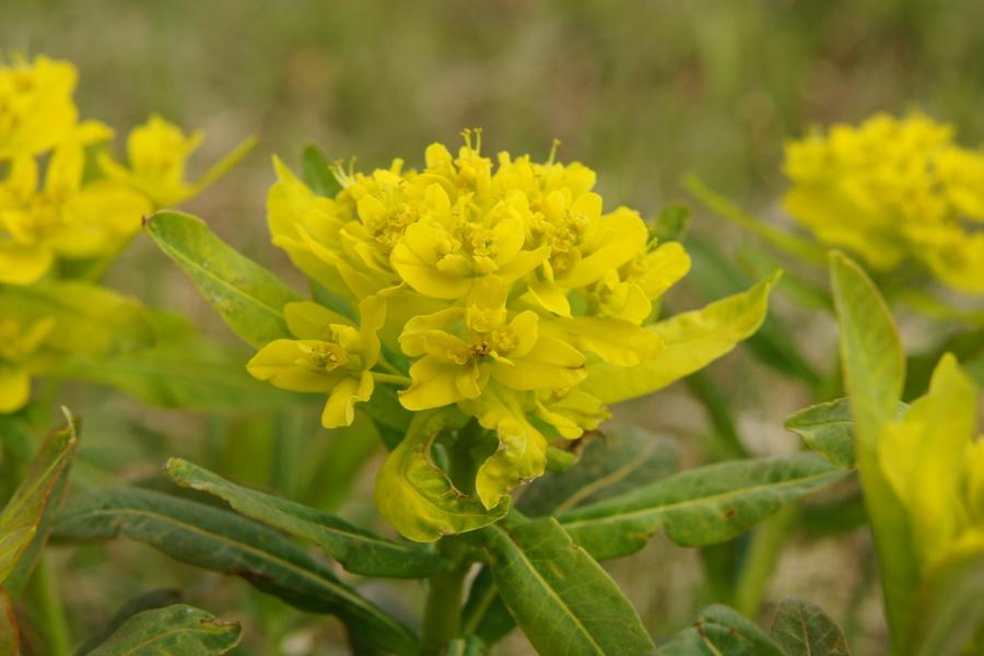 Dlakavi mleček (Euphorbia villosa), 2016-04-17 (Foto: Benjamin Zwittnig)
