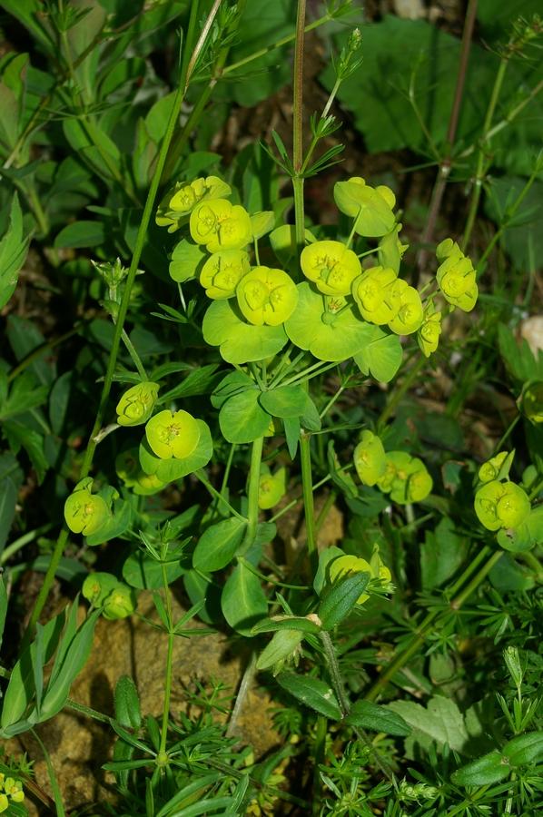 Mleček (Euphorbia sp.), Mrzlica, 2006-06-03 (Foto: Benjamin Zwittnig)