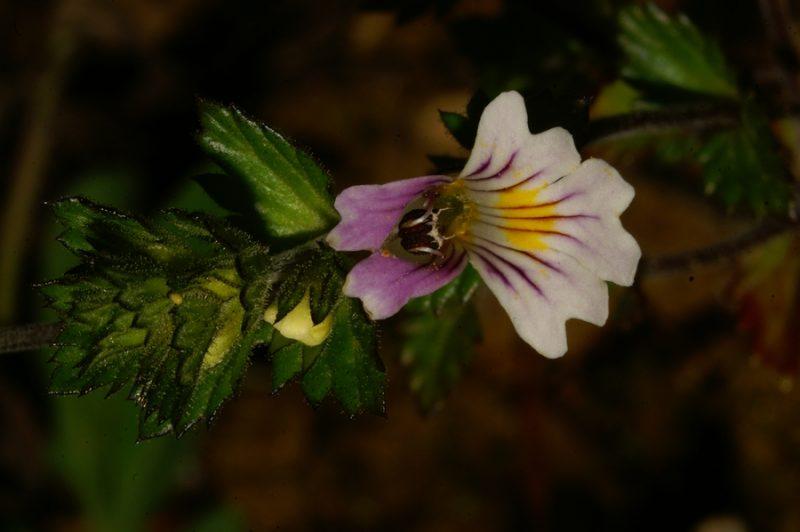 Navadna smetlika (Euphrasia rostkoviana), Koreno, 2006-08-27 (Foto: Benjamin Zwittnig)