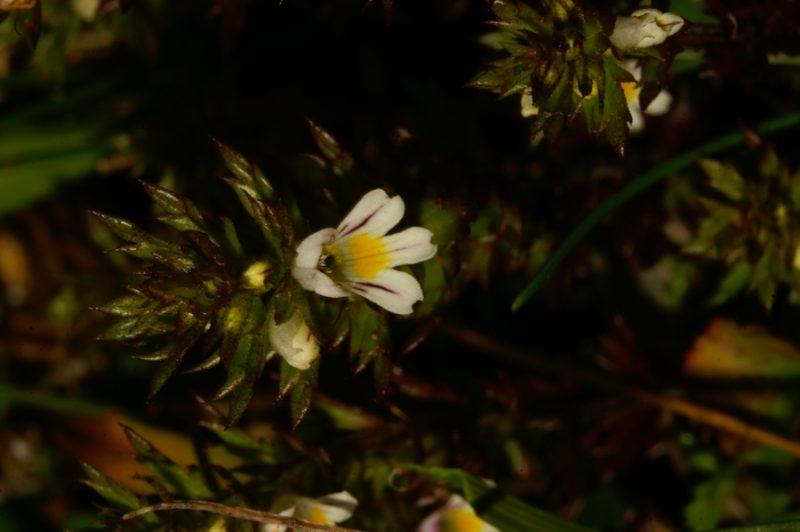 Solnograška smetlika (Euphrasia salisburgensis), Soriška planina, 2006-08-15 (Foto: Benjamin Zwittnig)