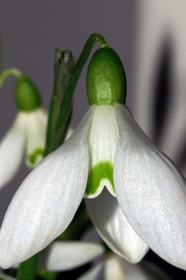 Mali zvonček (<i>Galanthus nivalis</i>), 2007-02-13 (Foto: Benjamin Zwittnig)