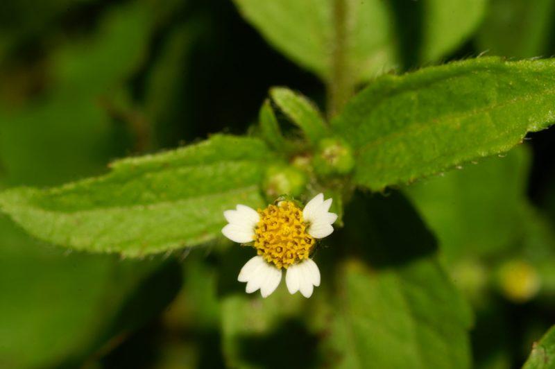 Vejicati rogovilček (Galinsoga ciliata), Koreno, 2006-08-27 (Foto: Benjamin Zwittnig)