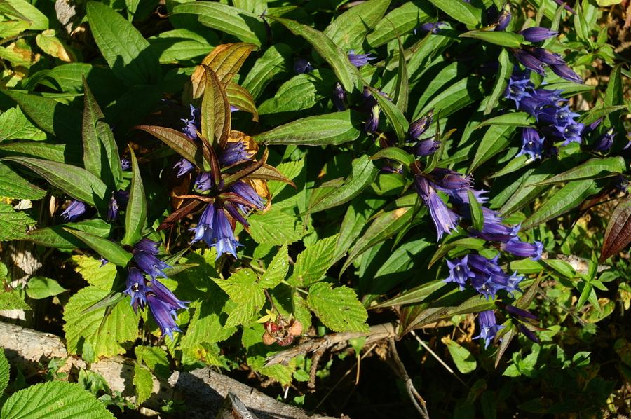 Svilničasti svišč (<i>Gentiana asclepiadea</i>), Rogla, 2006-09-09 (Foto: Benjamin Zwittnig)