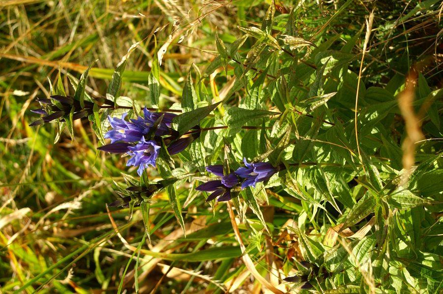 Svilničasti svišč (<i>Gentiana asclepiadea</i>), Soriška planina, 2006-08-15 (Foto: Benjamin Zwittnig)