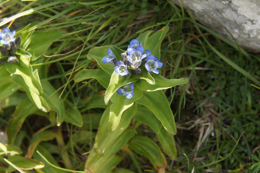 Navzkrižnolistni svišč (<i>Gentiana cruciata</i>), planina Kuhinja (pod Krnom), 2010-07-19 (Foto: Benjamin Zwittnig)
