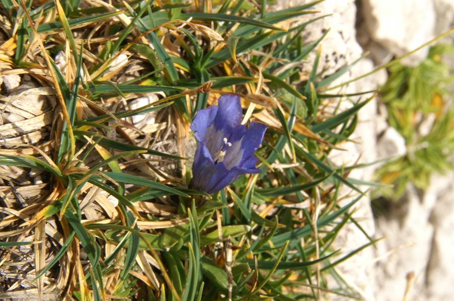 Froelichov svišč (<i>Gentiana froelichii ssp. froelichii</i>), 2009-09-23 (Foto: Benjamin Zwittnig)