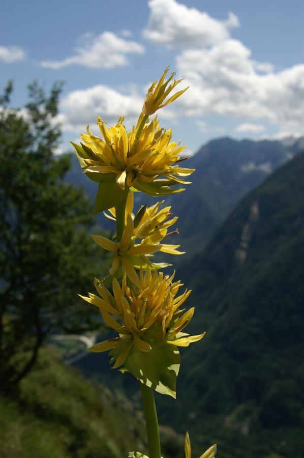 Zrasloprašnični rumeni svišč, bratinski košutnik (<i>Gentiana lutea ssp. symphyandra</i>), 2009-07-20 (Foto: Benjamin Zwittnig)