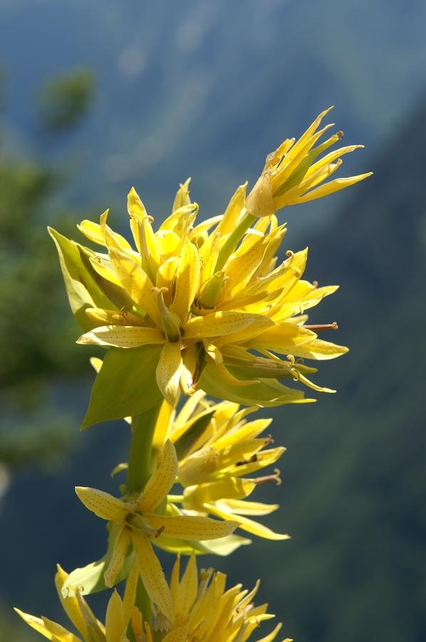 Zrasloprašnični rumeni svišč, bratinski košutnik (Gentiana lutea ssp. symphyandra), 2009-07-20 (Foto: Benjamin Zwittnig)