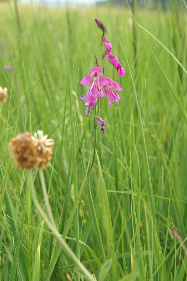 Močvirski meček (Gladiolus palustris), 2010-06-25 (Foto: Benjamin Zwittnig)