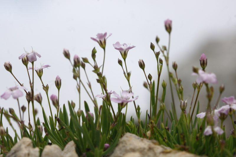 Plazeča sadrenka (Gypsophila repens), Vodnikov Vršac, 2014-08-16 (Foto: Benjamin Zwittnig)