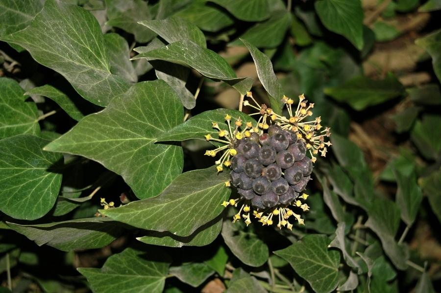 Navadni bršljan (Hedera helix), Vrhnika, 2008-02-23, Bršljanov plod so črne jagode. (Foto: Benjamin Zwittnig)