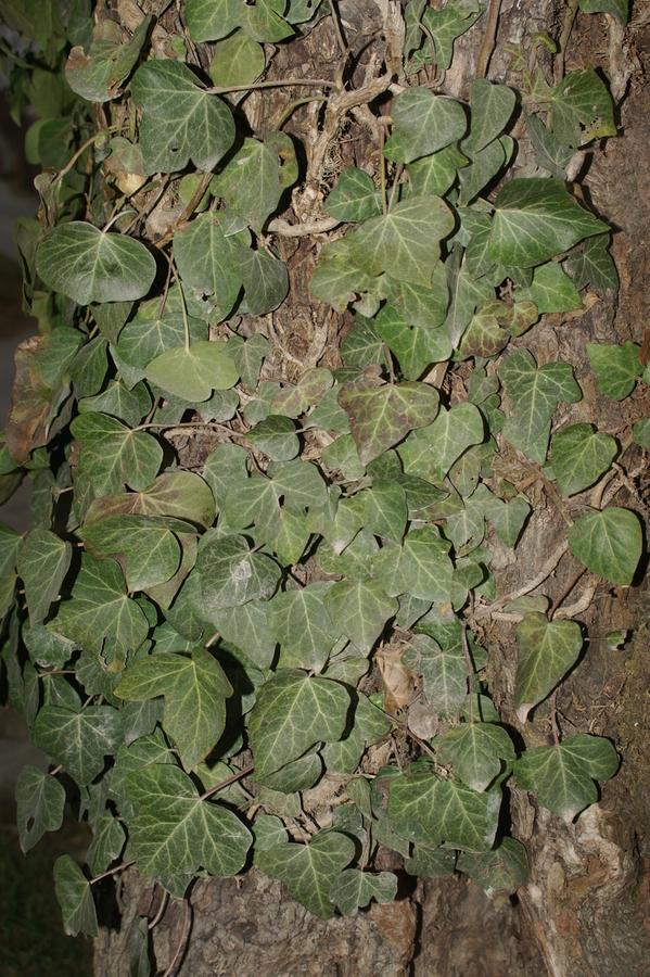 Navadni bršljan (<i>Hedera helix</i>), Vrhnika, 2008-02-23,    Mladostni listi so drugačni kot listi na cvetočih poganjkih. Mladostni   listi so 3-5 krpi, listi na cvetočih poganjkih pa so narobe srčasti. (Foto: Benjamin Zwittnig)