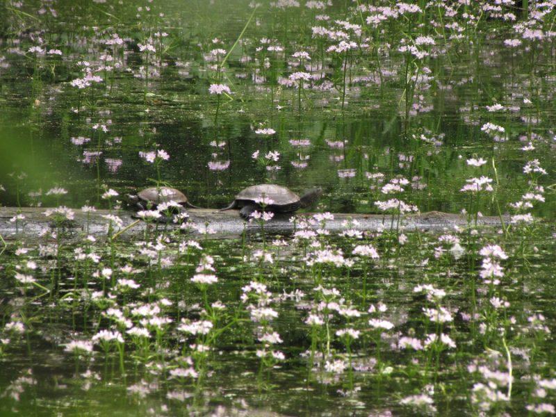 Vodna grebenika (Hottonia palustris), Lj. barje, 2010-05-17 (Foto: Martin Meznarič)
