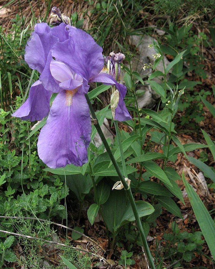 Južnoalpska perunika (Iris pallida ssp. cengialti), 2010-06-08 (Foto: Boris Gaberšček)