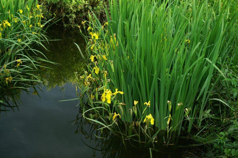 Močvirska perunika (Iris pseudacorus), 2006-06-03 (Foto: Benjamin Zwittnig)