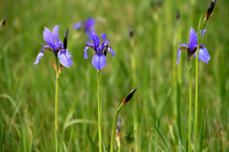 Sibirska perunika (Iris sibirica), 2011-05-21 (Foto: Jure Slatner)