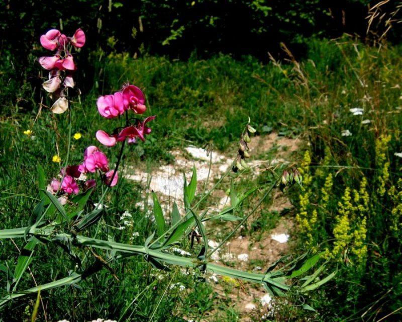 Širokolistni grahor (Lathyrus latifolius), Hrušica, 2009-08-08 (Foto: Boris Gaberšček)