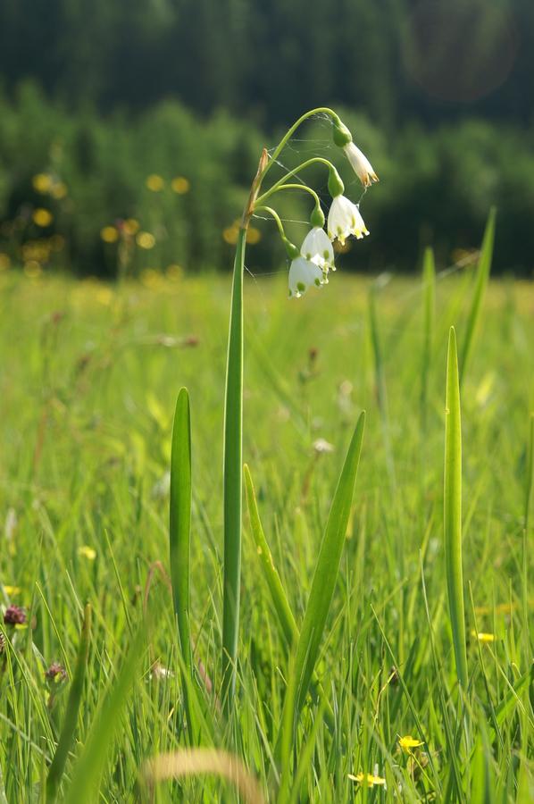 Poletni zvonček (<i>Leucojum aestivum</i>), 2010-06-07 (Foto: Benjamin Zwittnig)