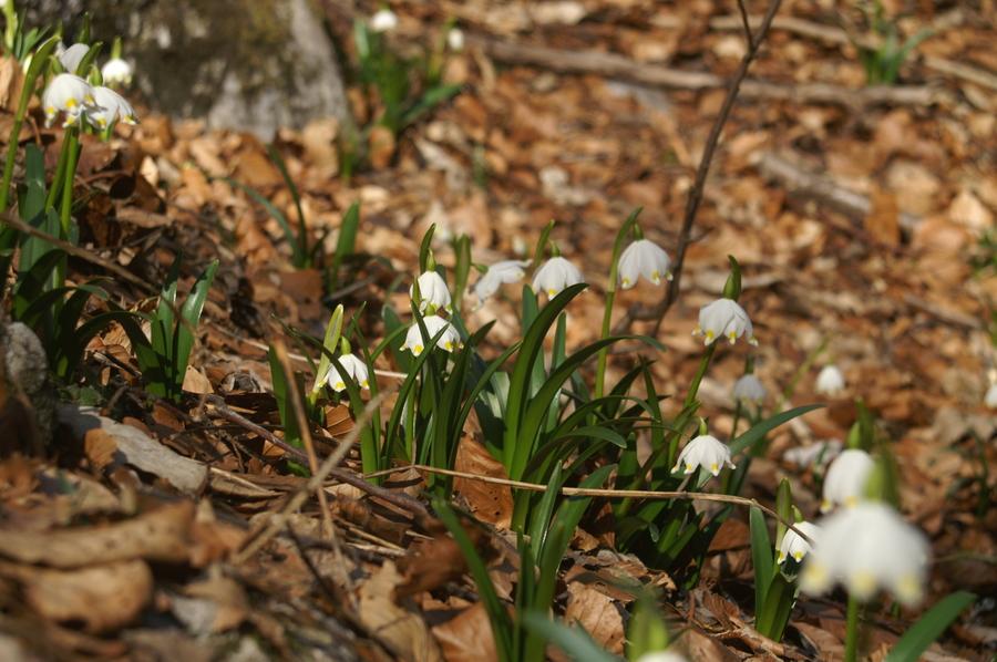 Veliki pomladni zvonček (<i>Leucojum vernum</i>), 2008-02-24 (Foto: Benjamin Zwittnig)