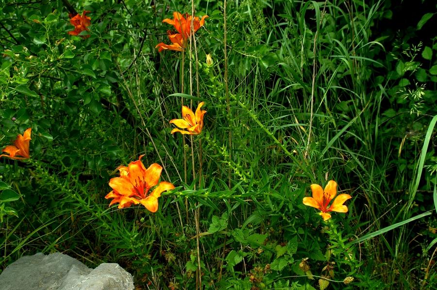 Brstična lilija (<i>Lilium bulbiferum</i>), 2006-06-04 (Foto: Benjamin Zwittnig)