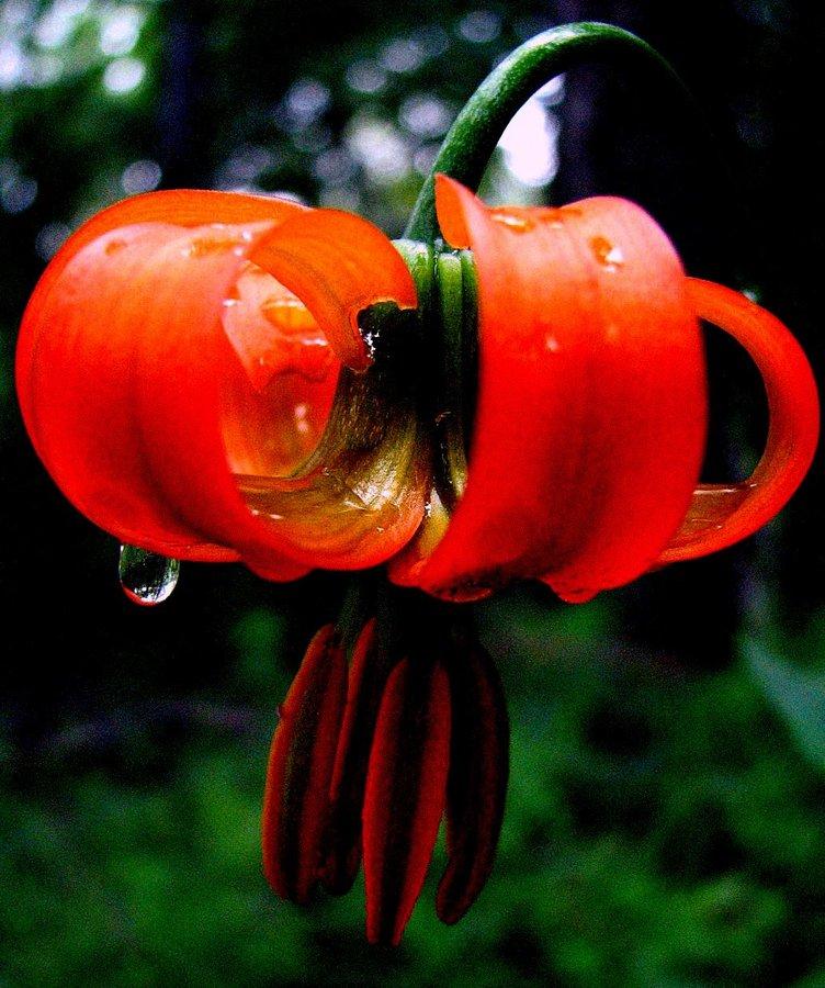 Kranjska lilija (<i>Lilium carniolicum</i>), 2007-05-30 (Foto: Sonja Kostevc)
