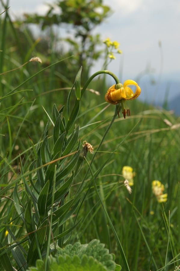 Kranjska lilija (<i>Lilium carniolicum</i>), 2010-06-25 (Foto: Benjamin Zwittnig)