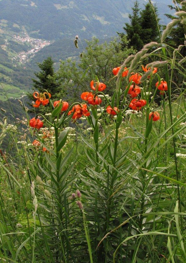 Kranjska lilija (<i>Lilium carniolicum</i>), 2013-07-05 (Foto: Boris Gaberšček)