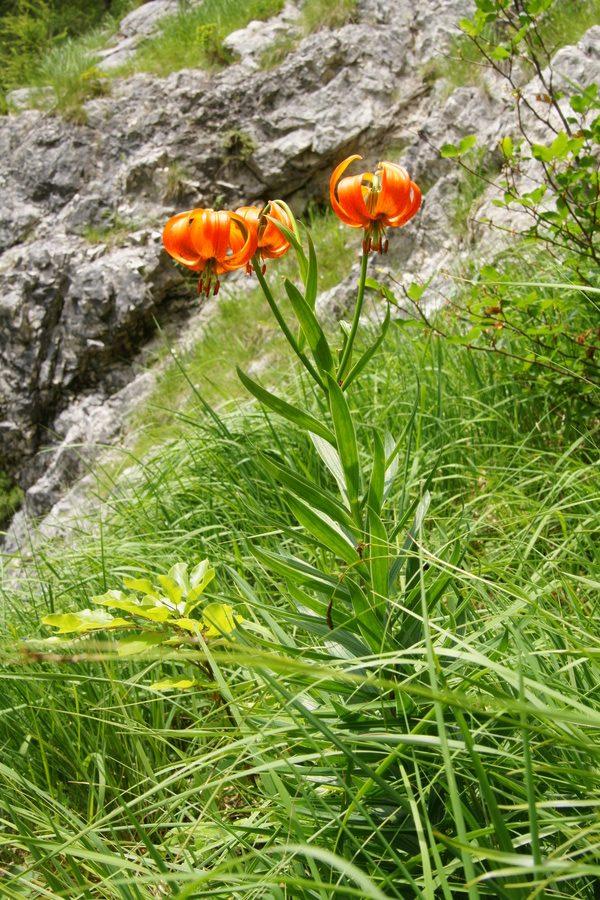 Kranjska lilija (<i>Lilium carniolicum</i>), 2016-06-30 (Foto: Benjamin Zwittnig)