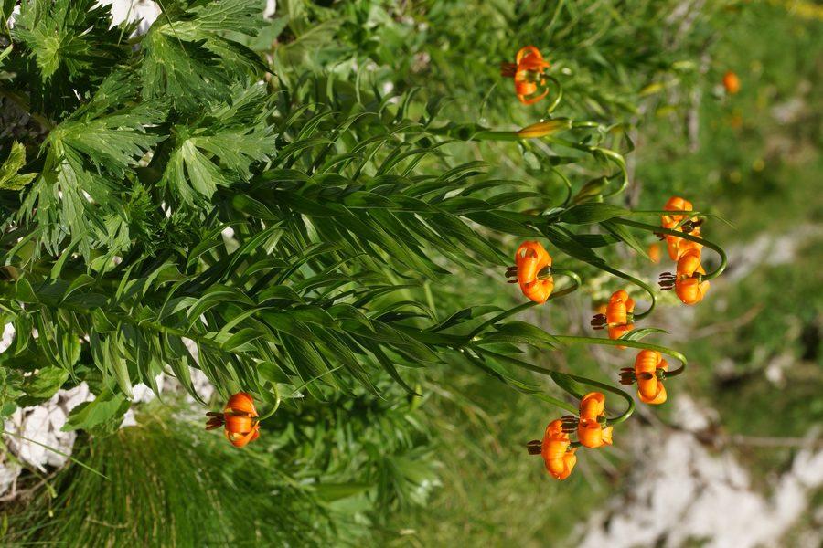 Kranjska lilija (<i>Lilium carniolicum</i>), 2015-06-13 (Foto: Benjamin Zwittnig)