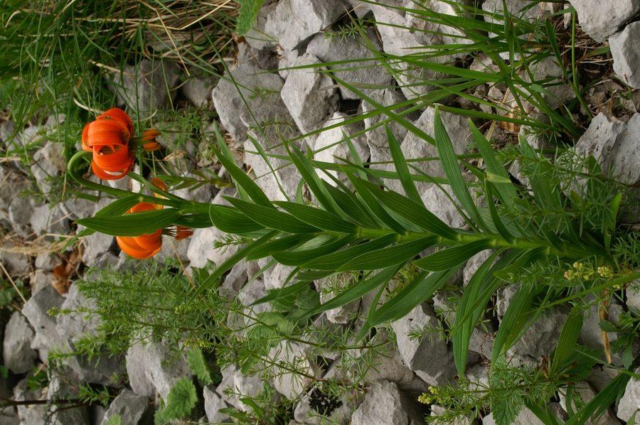 Kranjska lilija (<i>Lilium carniolicum</i>), 2006-06-23 (Foto: Benjamin Zwittnig)