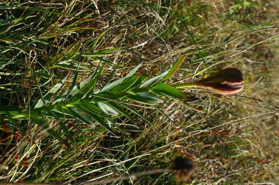 Kranjska lilija (<i>Lilium carniolicum</i>), 2006-09-24 (Foto: Benjamin Zwittnig)