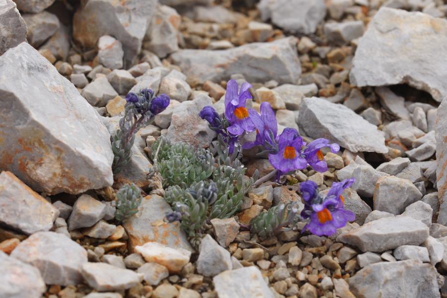 Alpska madronščica (<i>Linaria alpina</i>), Belščica – Stol, 2015-06-17 (Foto: Benjamin Zwittnig)