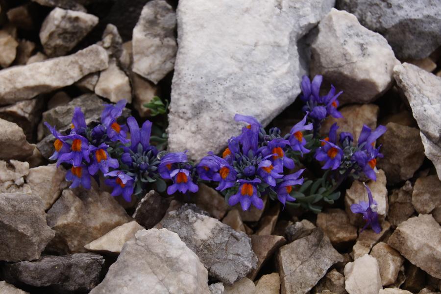 Alpska madronščica (<i>Linaria alpina</i>), pod Planiko (Triglav), 2015-06-21 (Foto: Benjamin Zwittnig)