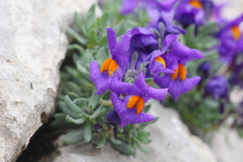 Alpska madronščica (Linaria alpina), Vodnikov Vršac, 2014-08-16 (Foto: Benjamin Zwittnig)