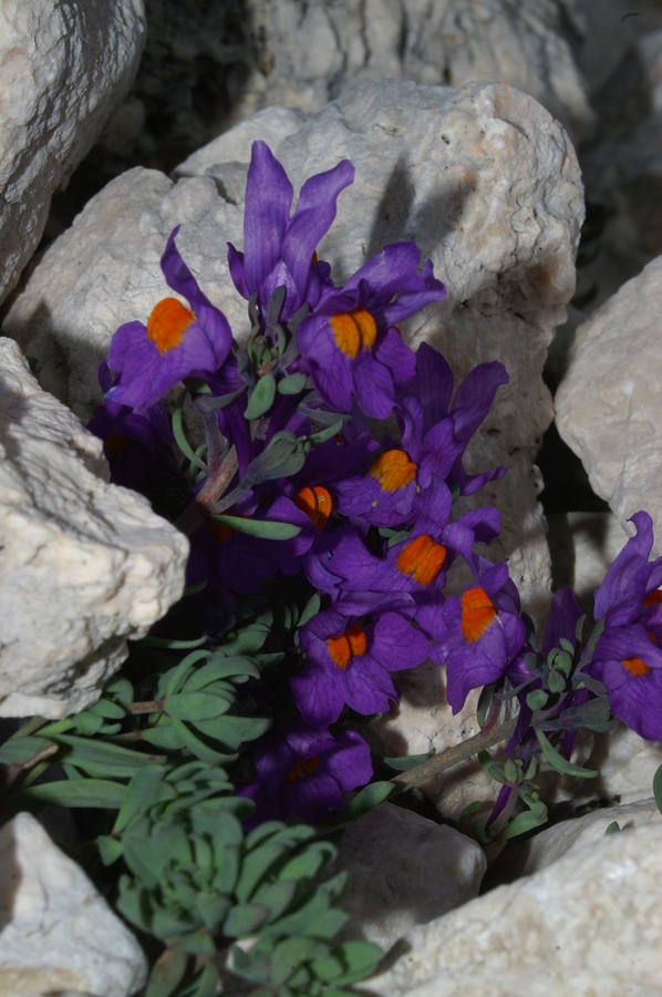 Alpska madronščica (<i>Linaria alpina</i>), Pod Rjavino, 2006-09-01 (Foto: Benjamin Zwittnig)