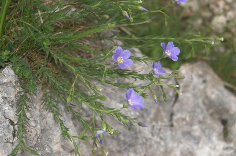 Julijski lan (Linum julicum), Veliki podi (pod Skuto), 2007-06-21 (Foto: Benjamin Zwittnig)