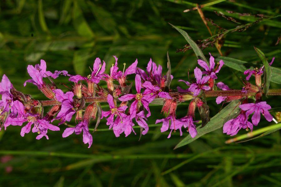Navadna krvenka (<i>Lythrum salicaria</i>), Lj. barje, 2006-06-22 (Foto: Benjamin Zwittnig)