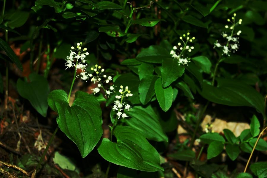 Dvolistna senčnica (<i>Maianthemum bifolium</i>), Mrzlica, 2006-06-03 (Foto: Benjamin Zwittnig)