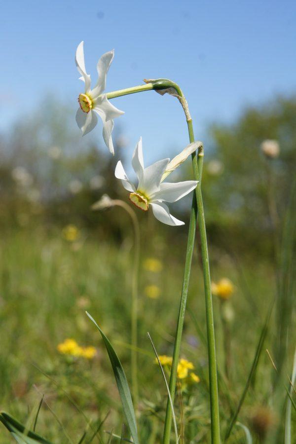Gorski narcis, Bedenica, Ključavnica (<i>Narcissus poeticus radiiflorus</i>), 2016-04-29 (Foto: Benjamin Zwittnig)