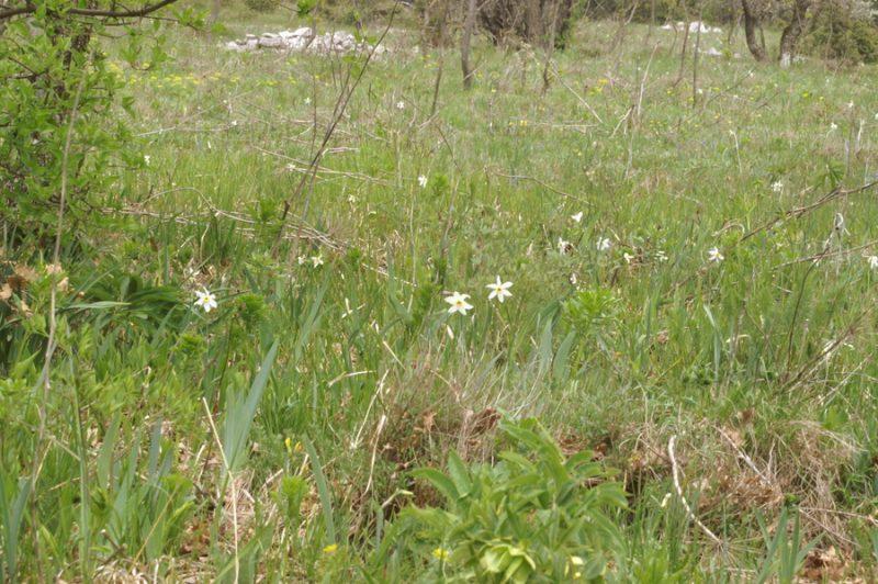 Gorski narcis, Bedenica, Ključavnica (Narcissus poeticus radiiflorus), 2007-04-22 (Foto: Benjamin Zwittnig)