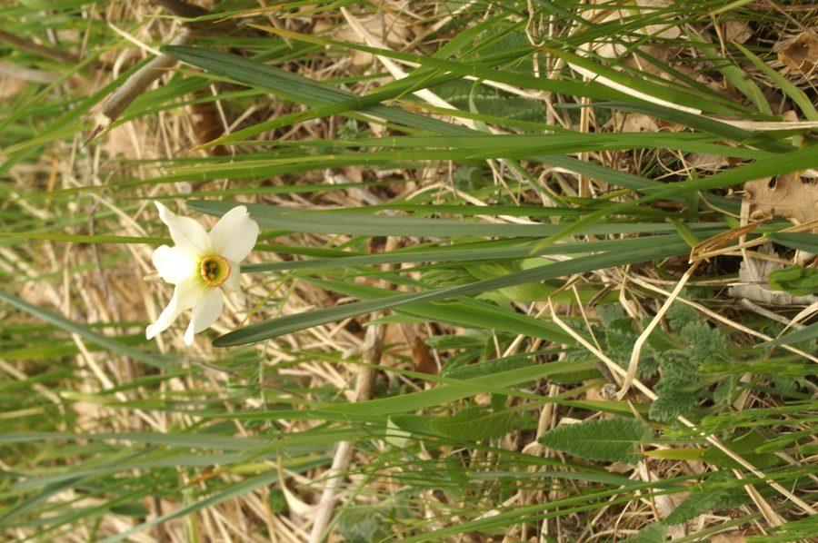 Gorski narcis, Bedenica, Ključavnica (<i>Narcissus poeticus radiiflorus</i>), 2007-04-22 (Foto: Benjamin Zwittnig)