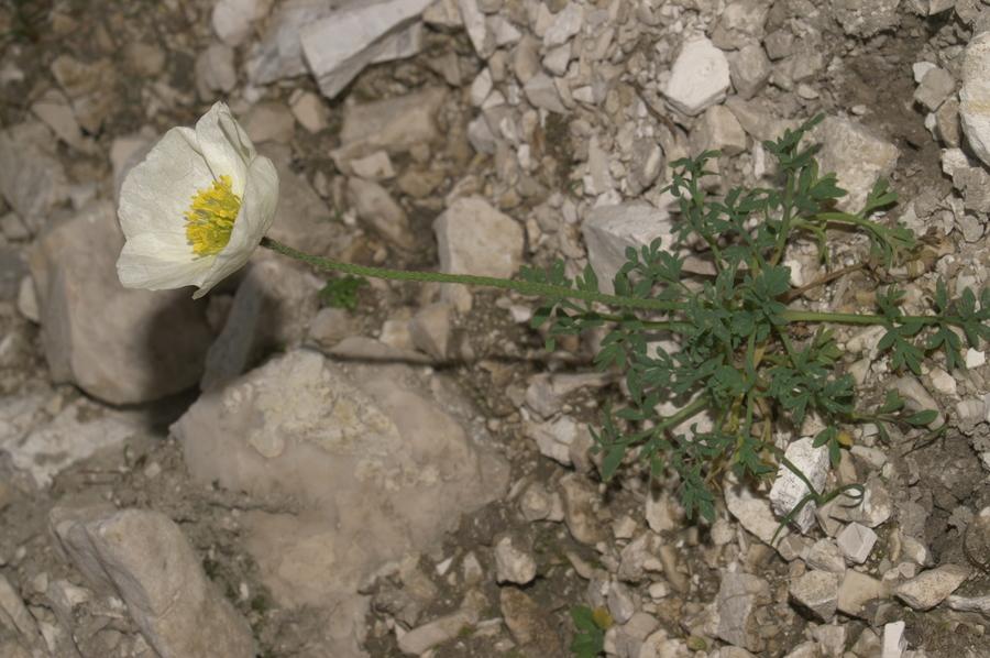 Julijski mak (<i>Papaver alpinum ssp. ernesti-mayeri</i>), Bohinjska vratca, 2007-07-22 (Foto: Benjamin Zwittnig)