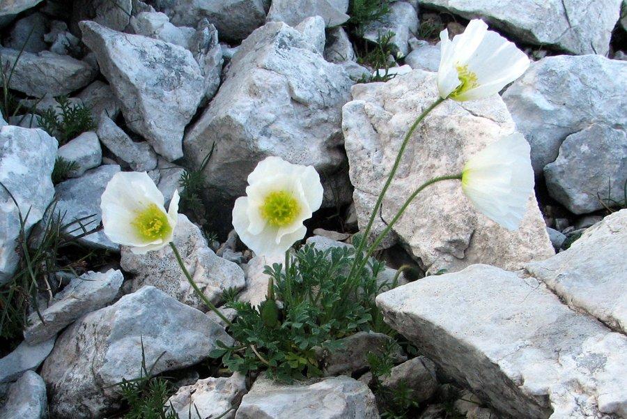 Julijski mak (<i>Papaver alpinum ssp. ernesti-mayeri</i>), Tičarica – Zelnarica, 2009-08-18 (Foto: Sonja Kostevc)