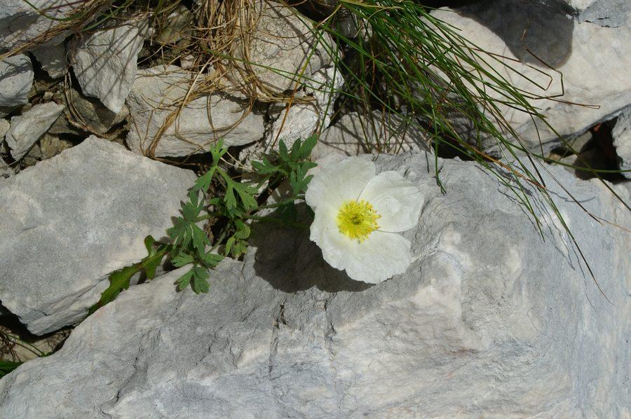 Julijski mak (<i>Papaver alpinum ssp. ernesti-mayeri</i>), Pod Rjavino, 2006-09-01 (Foto: Benjamin Zwittnig)
