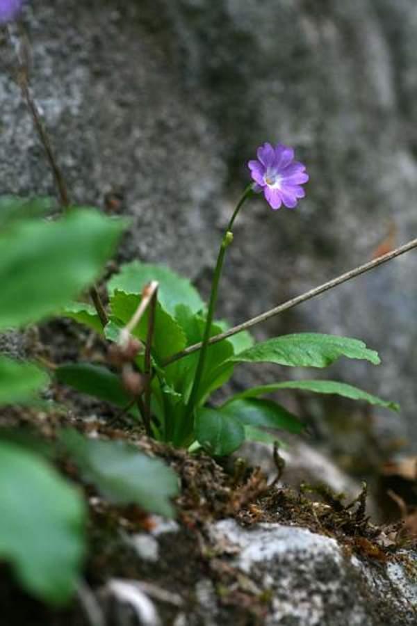 Kranjski jeglič (Primula carniolica), 2011-04-27 (Foto: Jure Slatner)