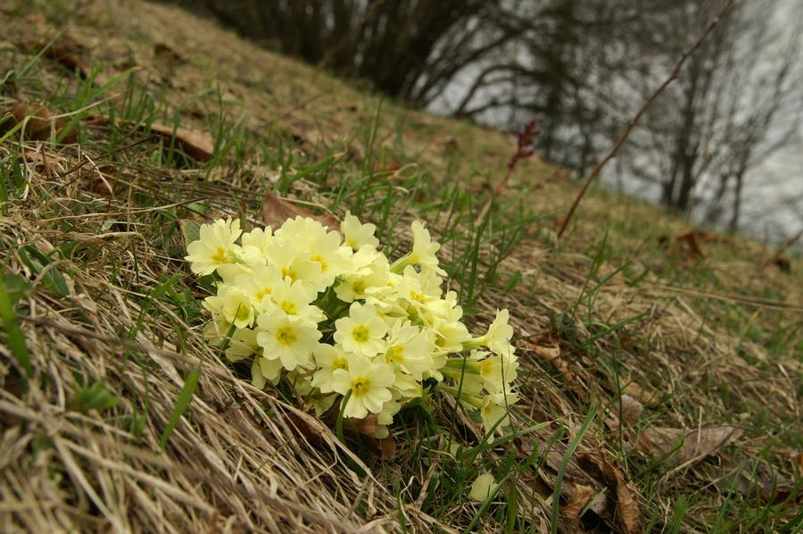 Trobentica (Primula vulgaris), Polhograjska gora (Sv. Lovrenc), 2010-04-04 (Foto: Benjamin Zwittnig)