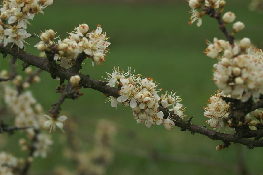 Črni trn (<i>Prunus spinosa</i>), Setnica, 2008-04-13 (Foto: Benjamin Zwittnig)